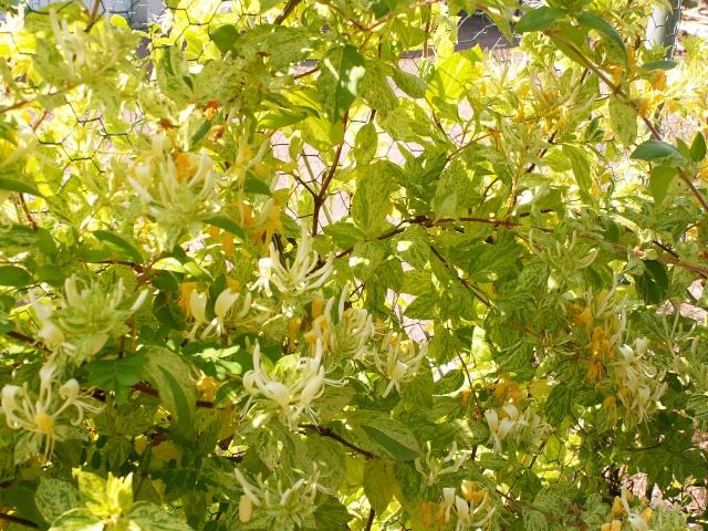 Lonicera japonica aureoreticulata Lonice10
