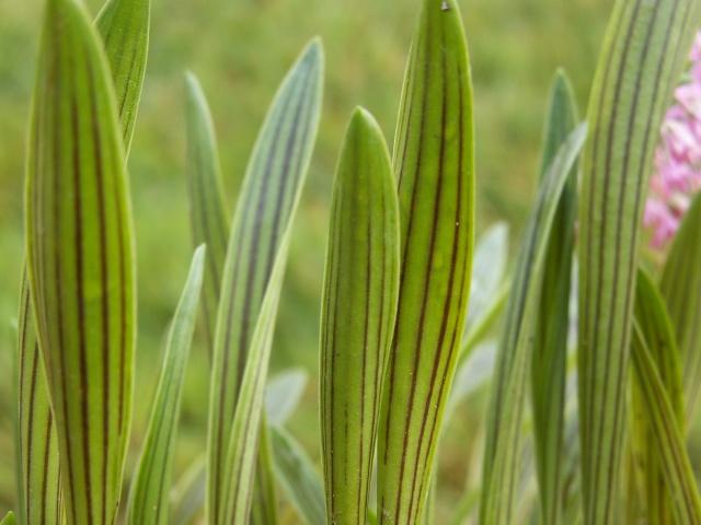 Ledebouria cooperi  (= Scilla adlamii) - Page 2 Pict0014