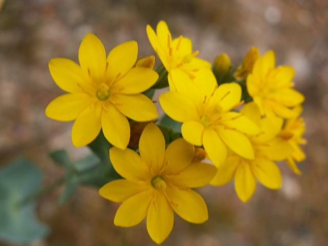Blackstonia perfoliata [identification] Pict0026