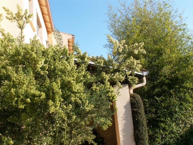 Colletia paradoxa (= Colletia cruciata) Pict0042