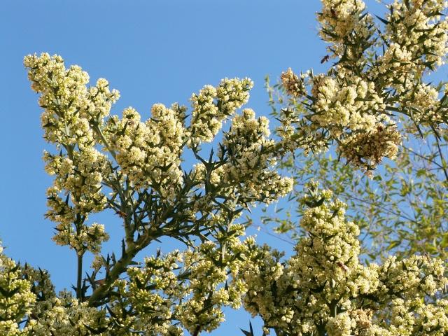Colletia paradoxa (= Colletia cruciata) Pict0043