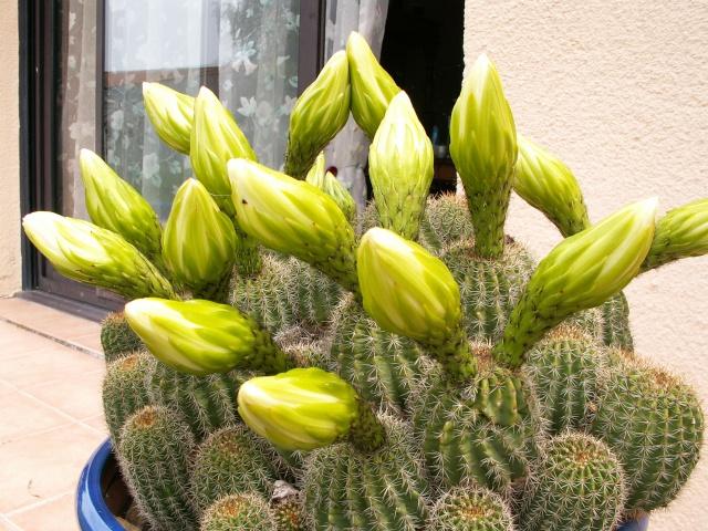 Trichocereus schickendantzii (Echinopsis) Tricho13