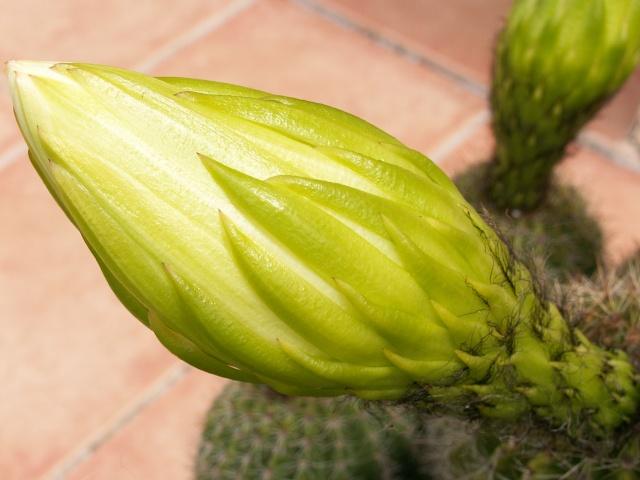Trichocereus schickendantzii (Echinopsis) Tricho17