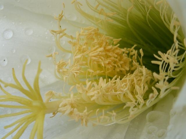 Trichocereus schickendantzii (Echinopsis) Tricho18