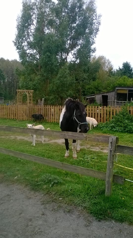 PIRATE - ONC poney né en 2003 - accueilli en refuge en août 2013 Pirate11