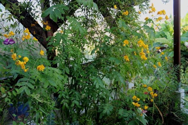 Senna floribunda et Senna corymbosa (= Cassia) Cassia10
