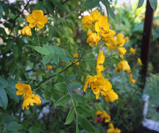 Senna floribunda et Senna corymbosa (= Cassia) Cassia12