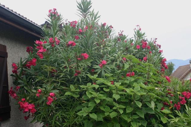 Nerium oleander - laurier rose Comman10