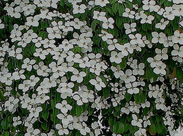 Cornus hongkongensis Cornus10