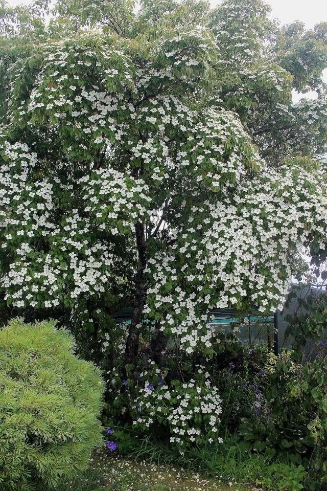 Cornus hongkongensis Cornus11