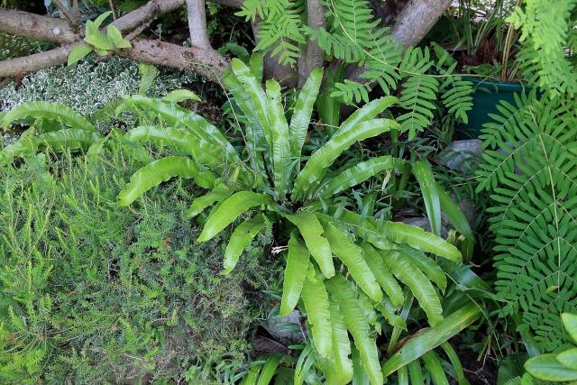 Asplenium scolopendrium - scolopendre Fougar10