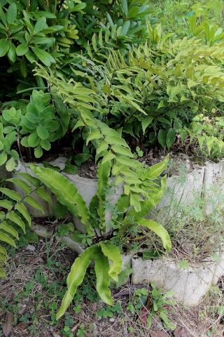 Asplenium scolopendrium - scolopendre Fougar12