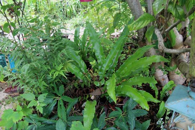 Asplenium scolopendrium - scolopendre Fougar13