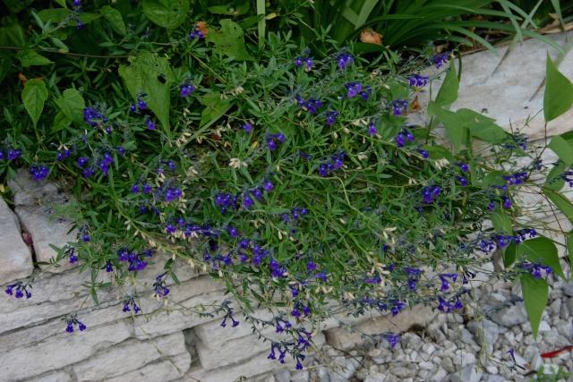 Salvia chamaedryoides Salvia10