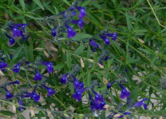 Salvia chamaedryoides Salvia12