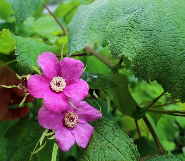 Rubus odoratus - [identification] Yo_ide10