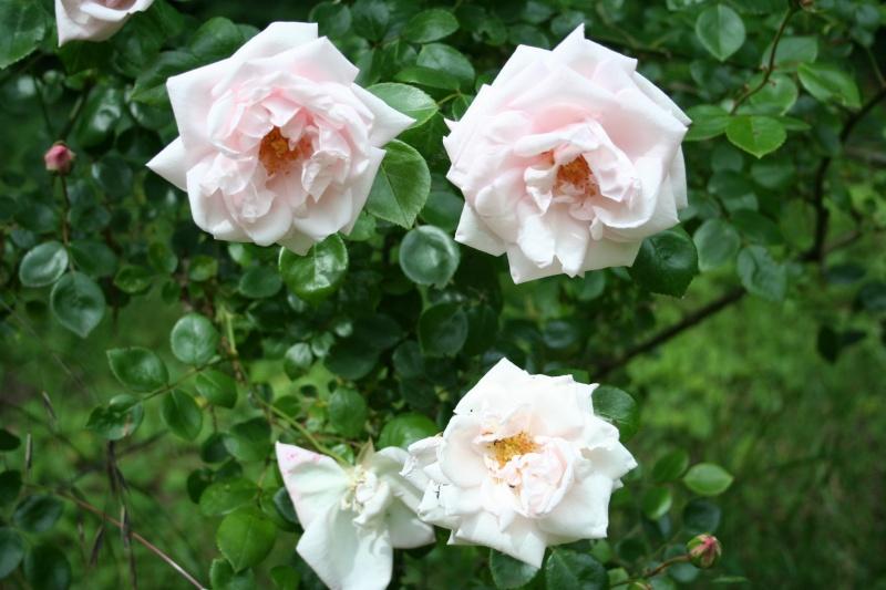 un rosier inconnu qui me tient beaucoup à coeur  Img_2311