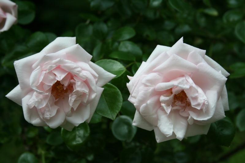 un rosier inconnu qui me tient beaucoup à coeur  Img_2312