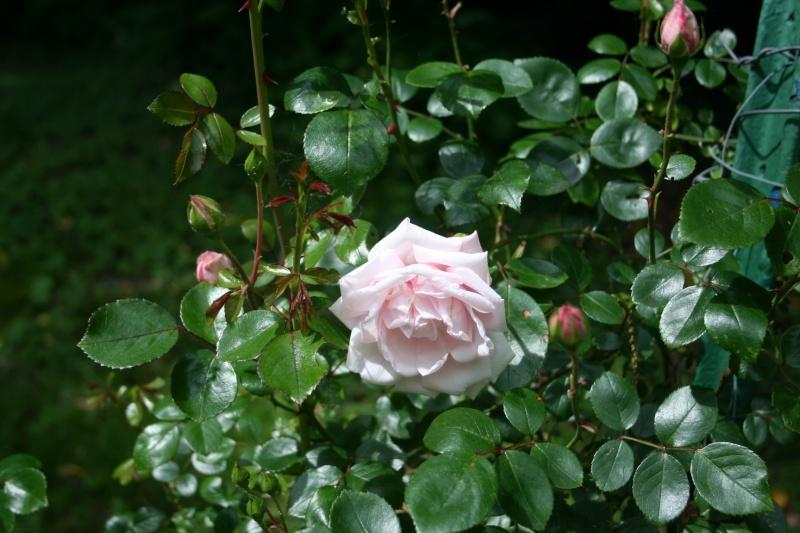 un rosier inconnu qui me tient beaucoup à coeur  Img_2314