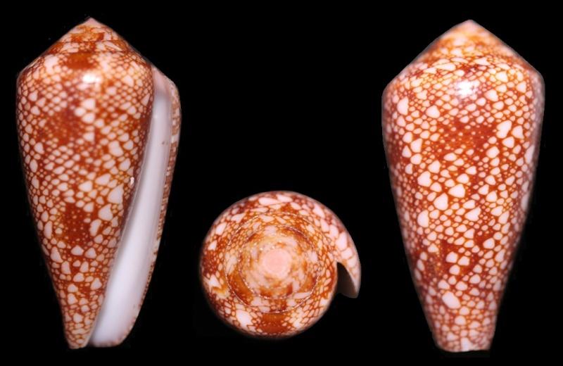 Conus (Darioconus) pennaceus rubropennatus  da Motta, 1982 voir Conus (Darioconus) pennaceus Born, 1778  Img_4610