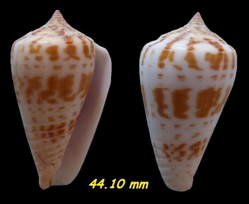 Conus (Phasmoconus) maculospirus   (Pilsbry, 1922) voir Conus (Ph.) inscriptus Inscri10