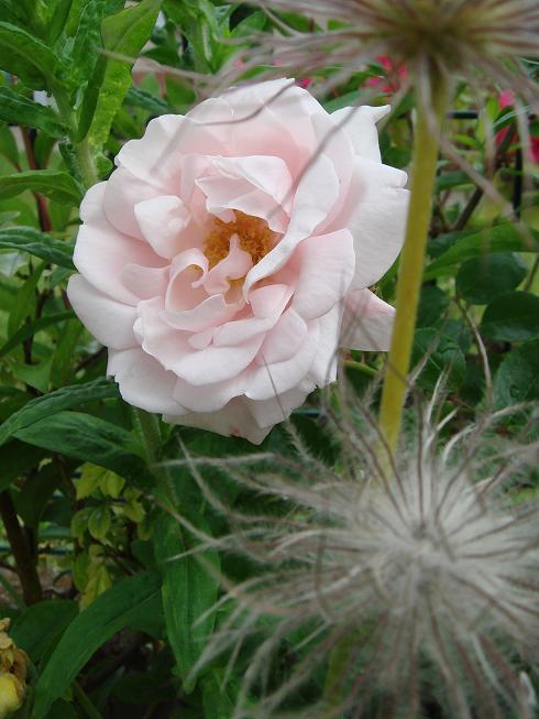 Rosa 'New Dawn' !!! - Page 3 Dsc02112
