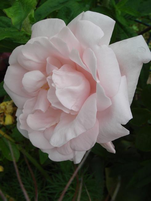 Rosa 'New Dawn' !!! - Page 3 Dsc02113