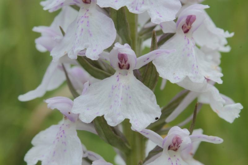Les Orchidées de Saint-Brieuc Dactyl11
