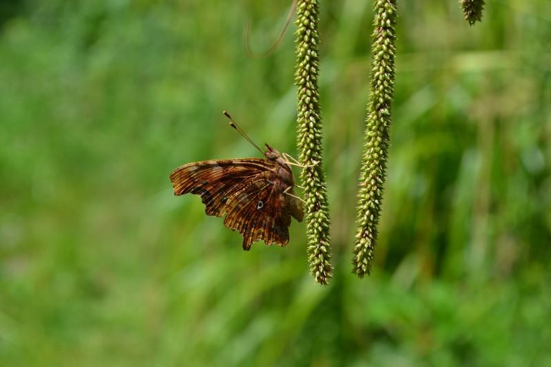 Papillon Robert le diable. Dsc_0016