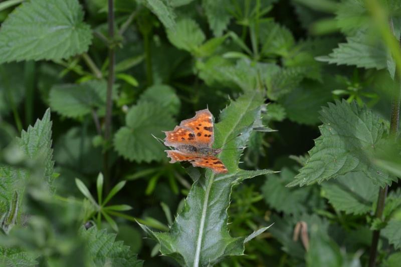 Papillon Robert le diable. Dsc_0017