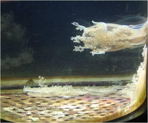 aquarium de Vannes (56) Meduse10