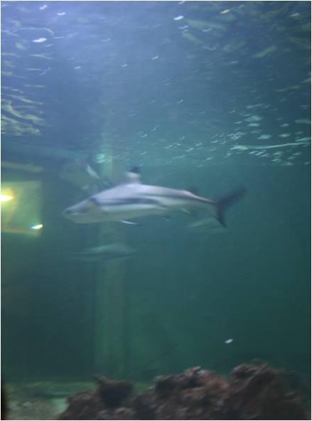 aquarium de Vannes (56) Requin10