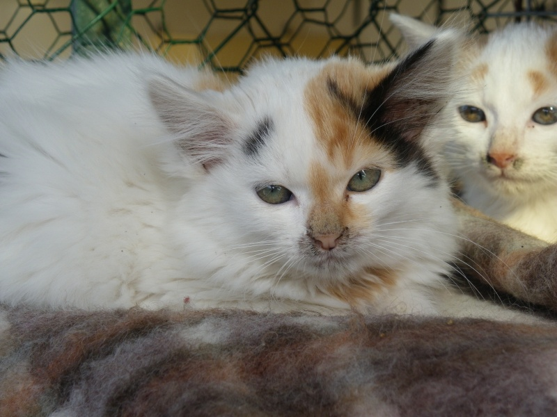 ELEA (chaton femelle angora tricolore)réservée Imgp0028
