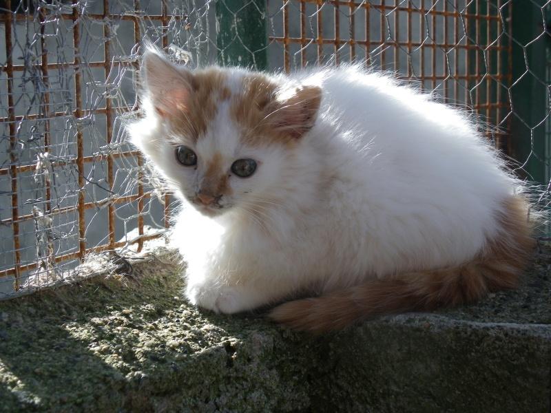 EVEN (chaton mâle angora blanc et roux) Imgp0031
