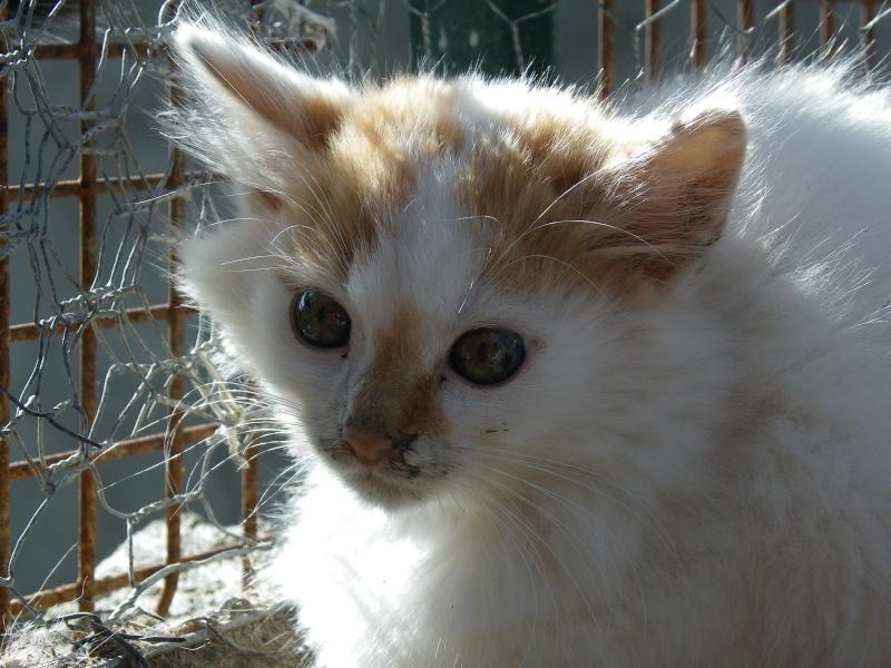 EVEN (chaton mâle angora blanc et roux) Imgp0032