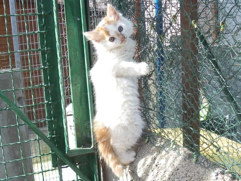 EVEN (chaton mâle angora blanc et roux) Imgp0035