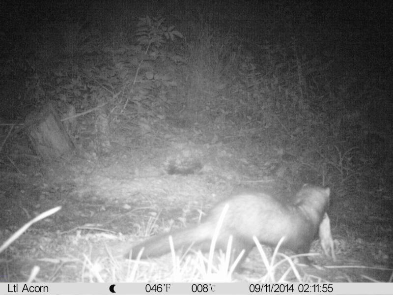 Comportement d'un renard sur premiere visite dirt Imag0017
