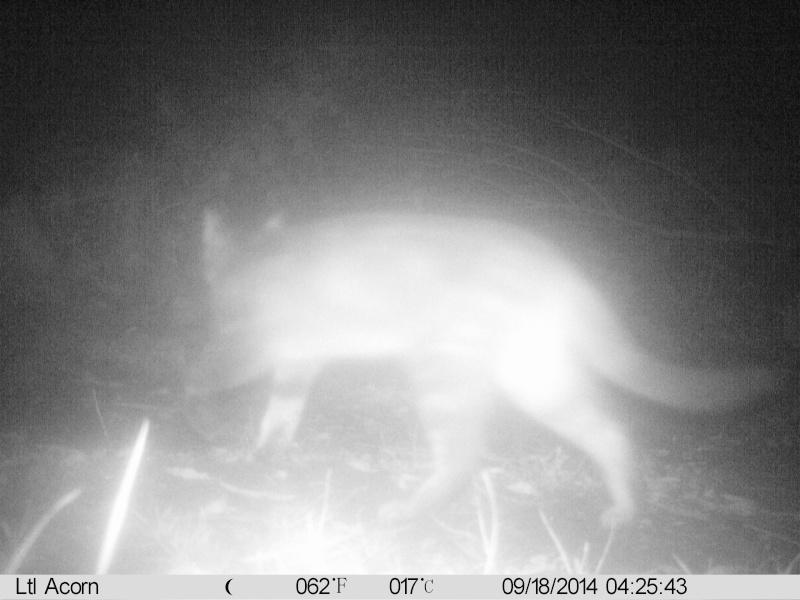 comportement d'un renard lors détection de piége Imag0025