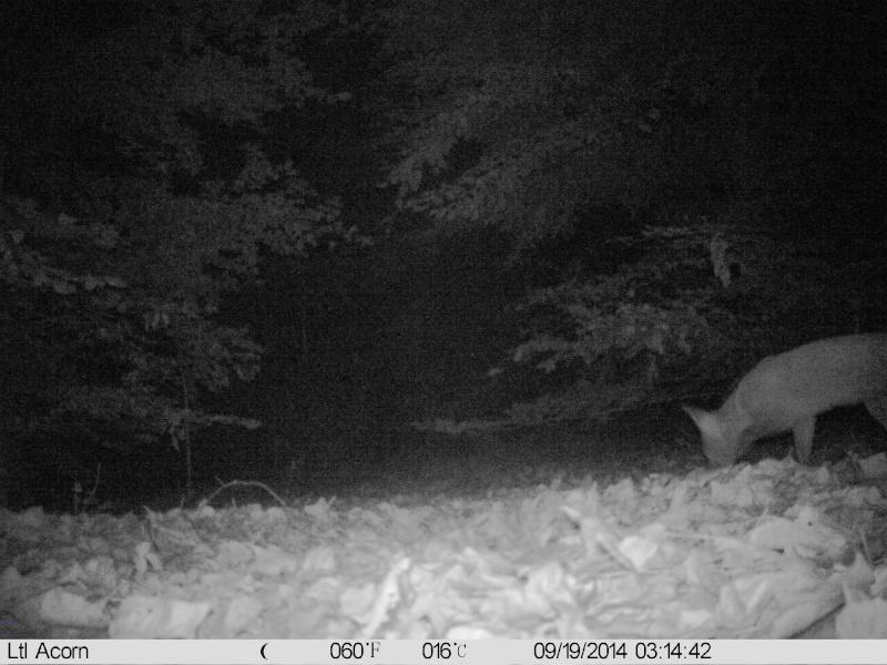 comportement d'un renard lors détection de piége Imag0026