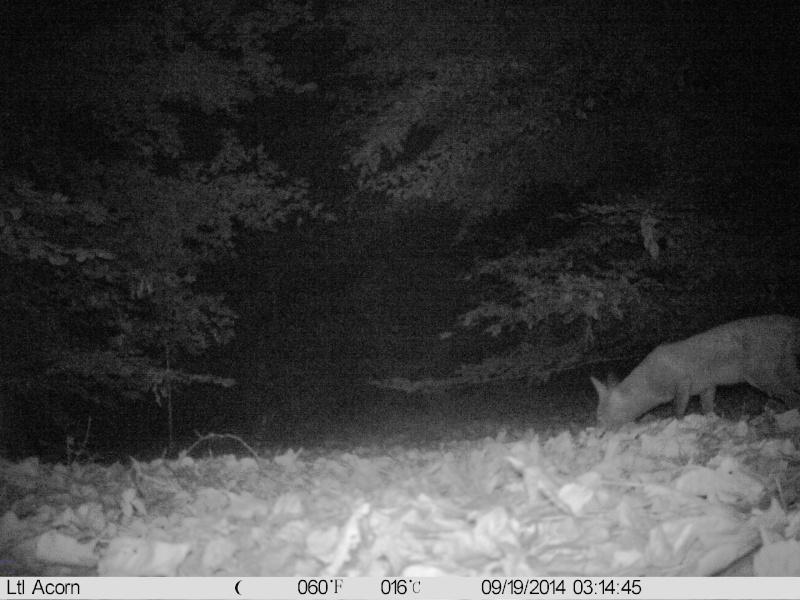 comportement d'un renard lors détection de piége Imag0027
