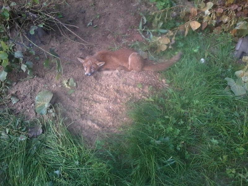 Comportement d'un renard sur premiere visite dirt Photo036