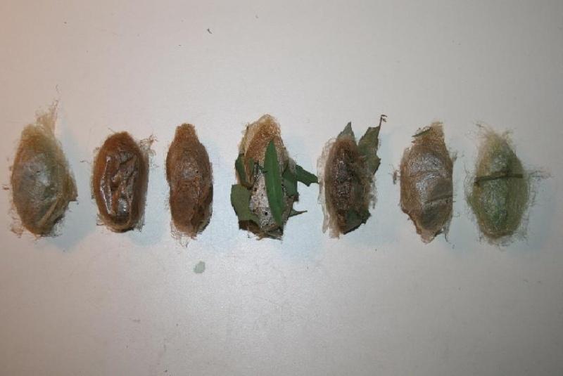 Suivi d'élevage : ACTIAS MAENAS Cocons10