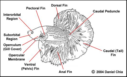 Betta Combattant crowntail.. help Anatom10