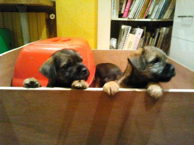 Chiots Border Terrier LOF 2012-111
