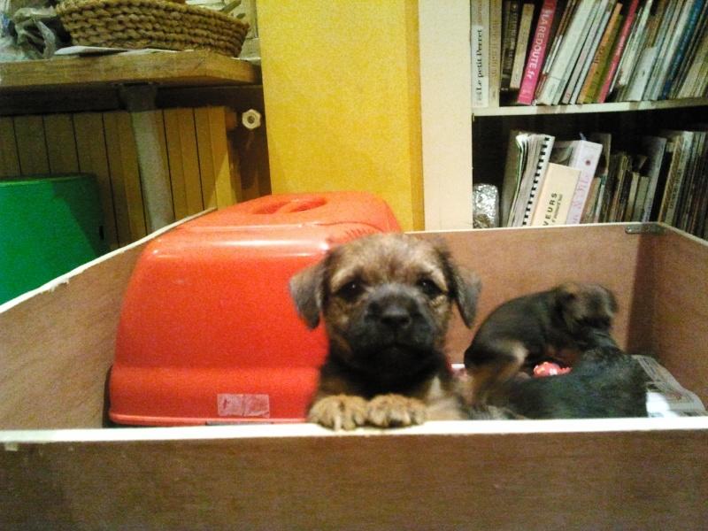 Chiots Border Terrier LOF 2012-112