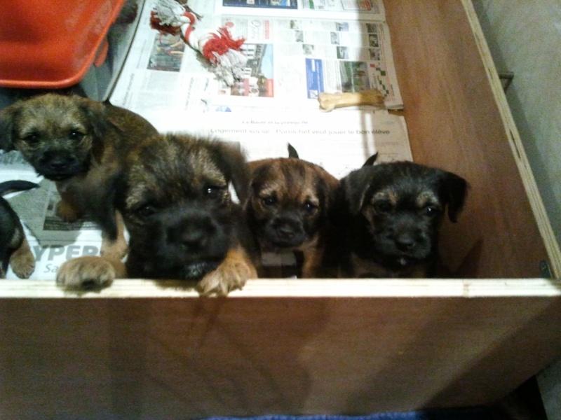 Chiots Border Terrier LOF 2012-113