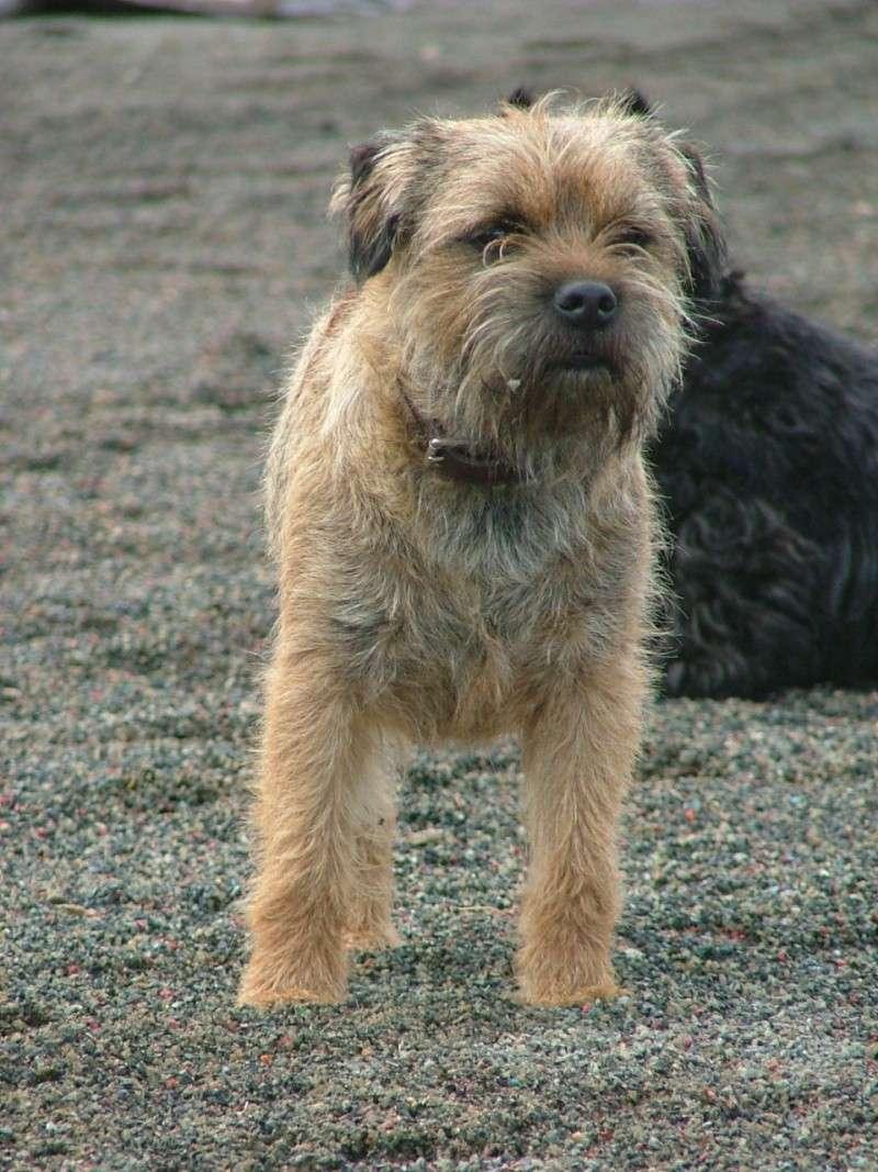 Chiots Border Terrier LOF Dscf1710