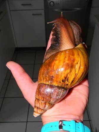 Achatina fulica et A. albopicta - escargots géants Acha310