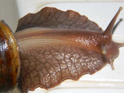 Achatina fulica et A. albopicta - escargots géants Acha510