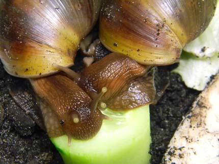 Achatina fulica et A. albopicta - escargots géants Acha610